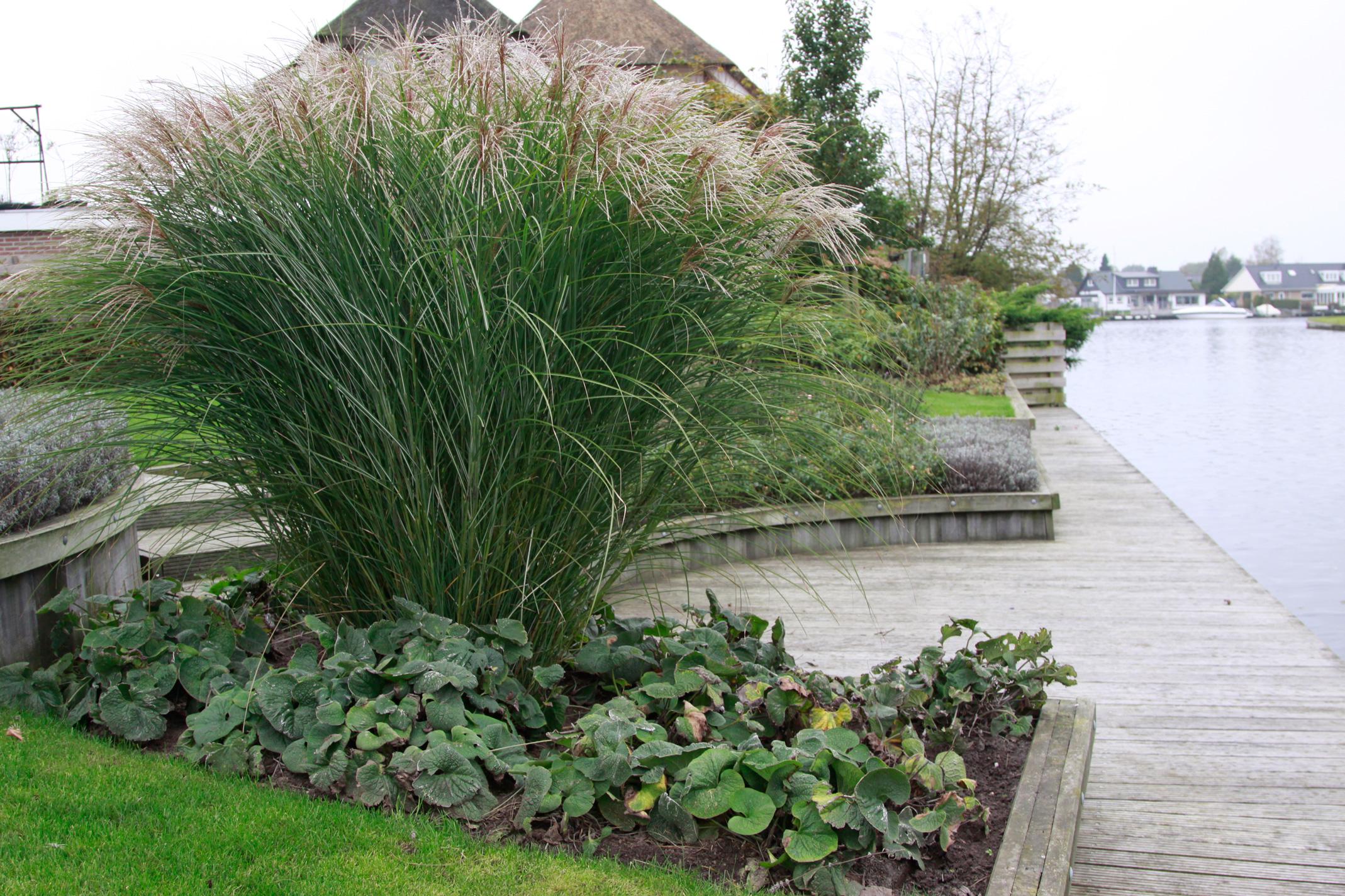Riet gras tuinfoto 39 s ter inspiratie - Riet voor struik ...